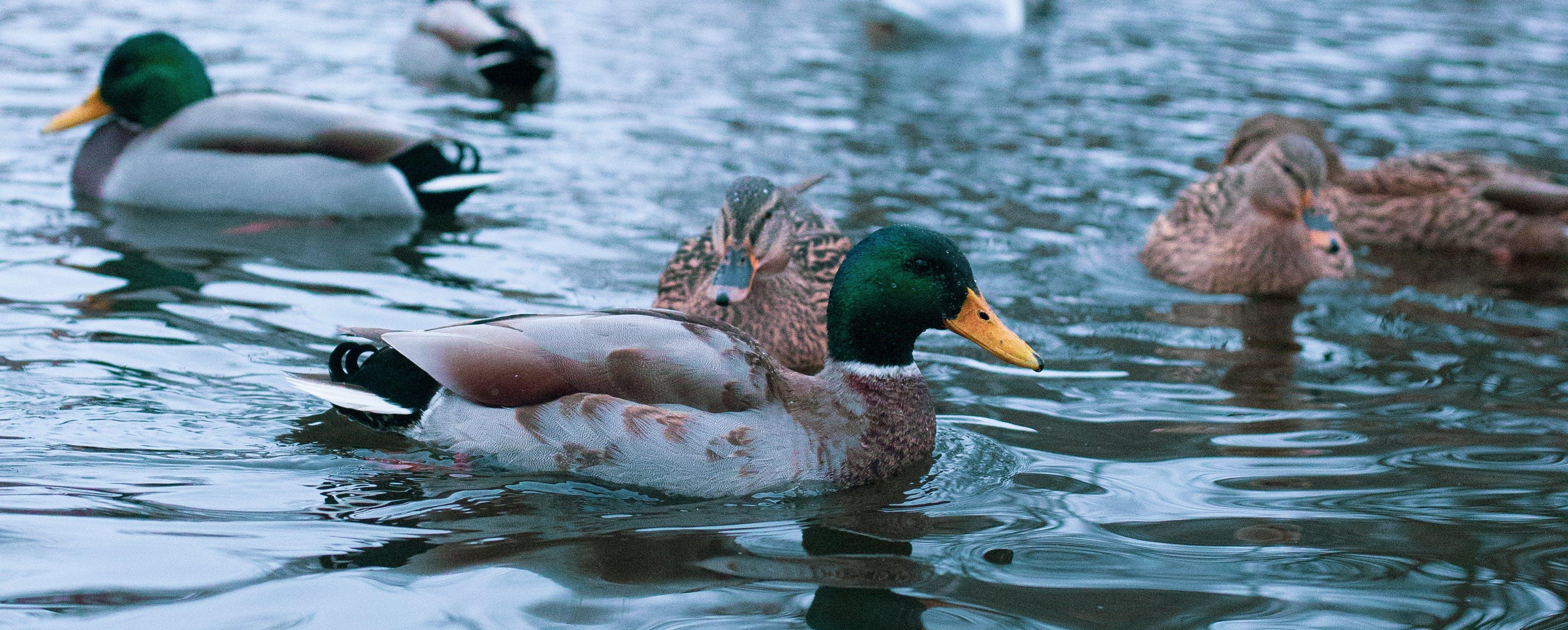 Free stock photo of duck, lake, water