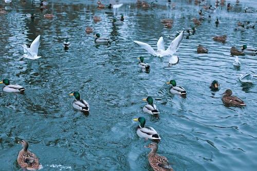 Imagine de stoc gratuită din apă, rațe