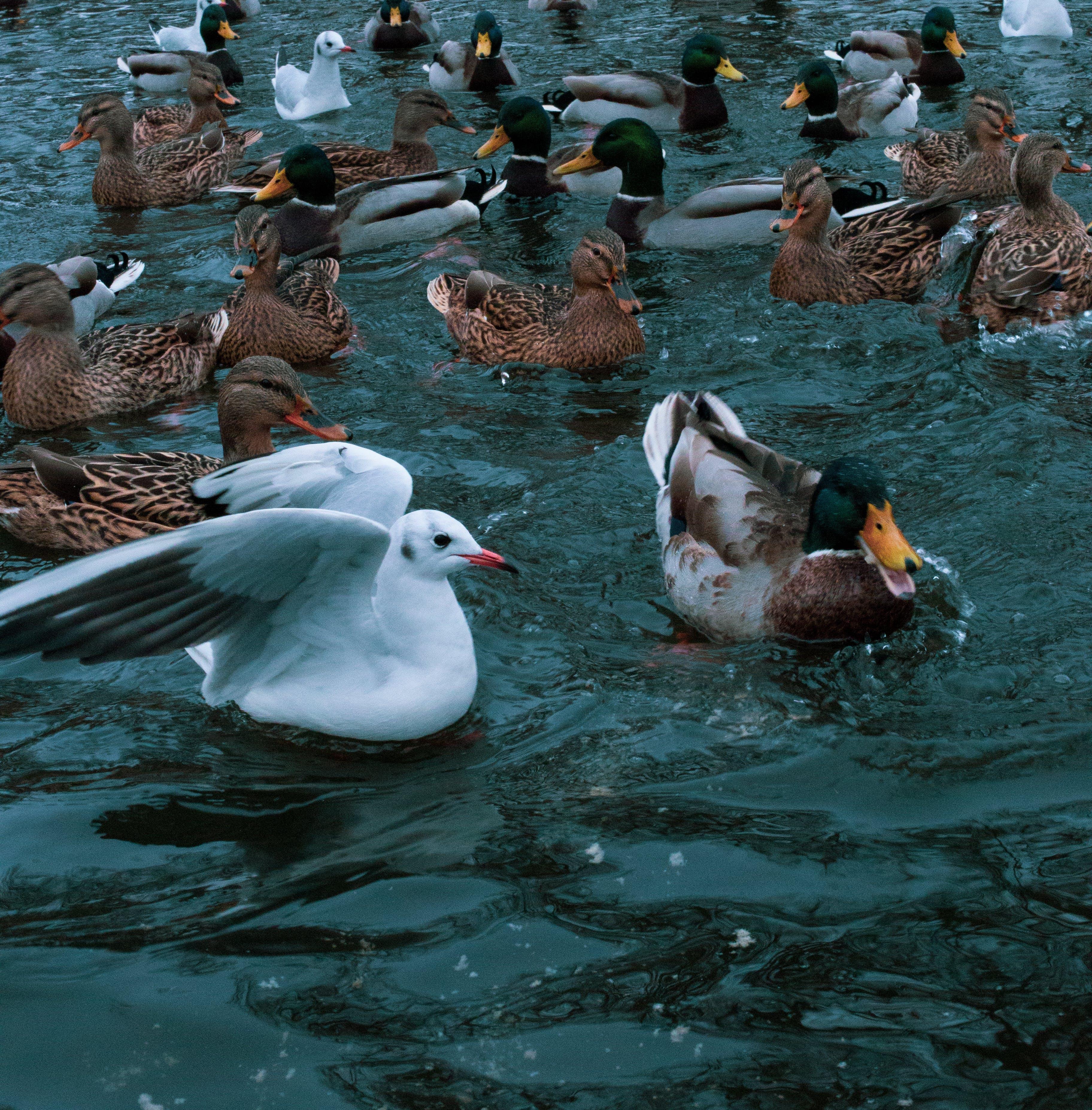Free stock photo of birds, ducks, lake, nature