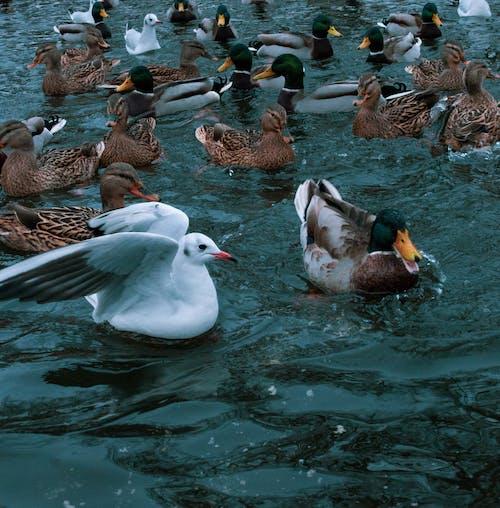 Imagine de stoc gratuită din apă, natură, rațe