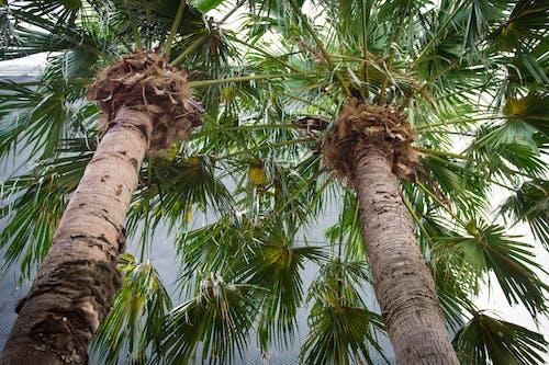 Free stock photo of palm, tree