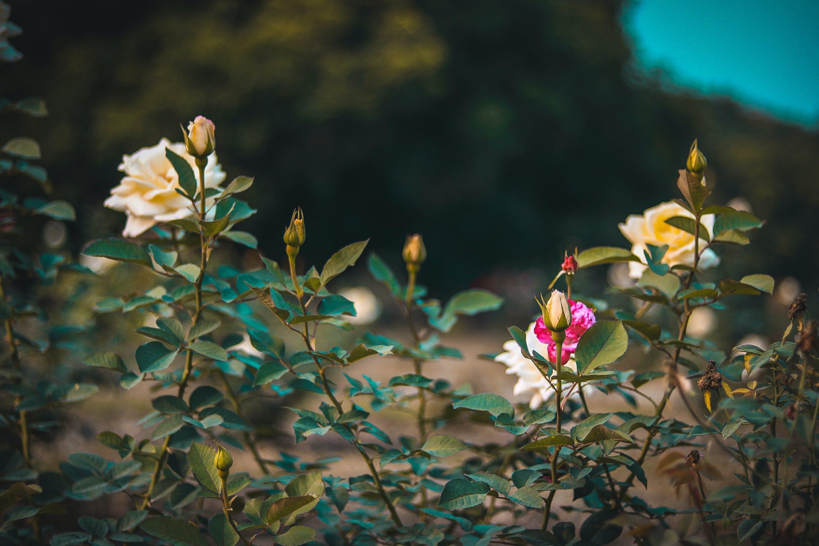 Free stock photo of blur, close, dark, flower garden