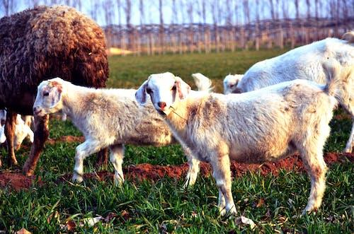 動物, 洋, 羊 的 免费素材照片