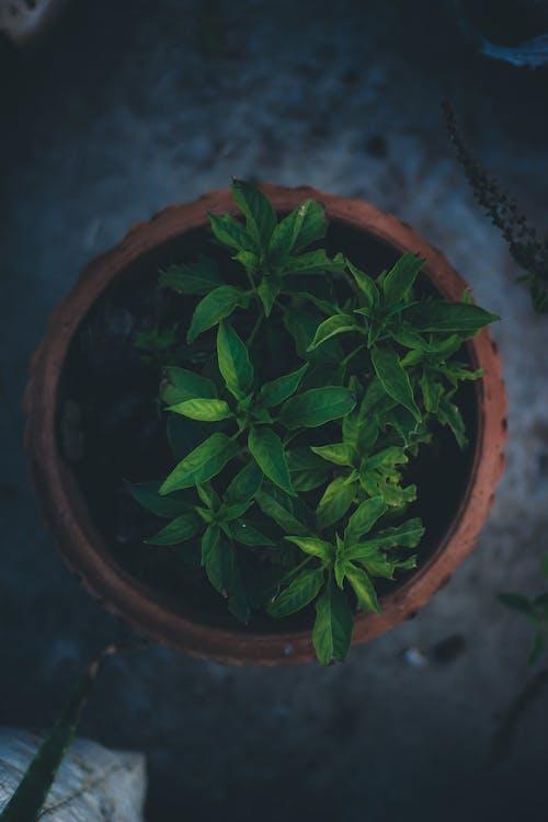 Imagine de stoc gratuită din ceaun, frunză verde, închis la culoare, plantă în ghiveci