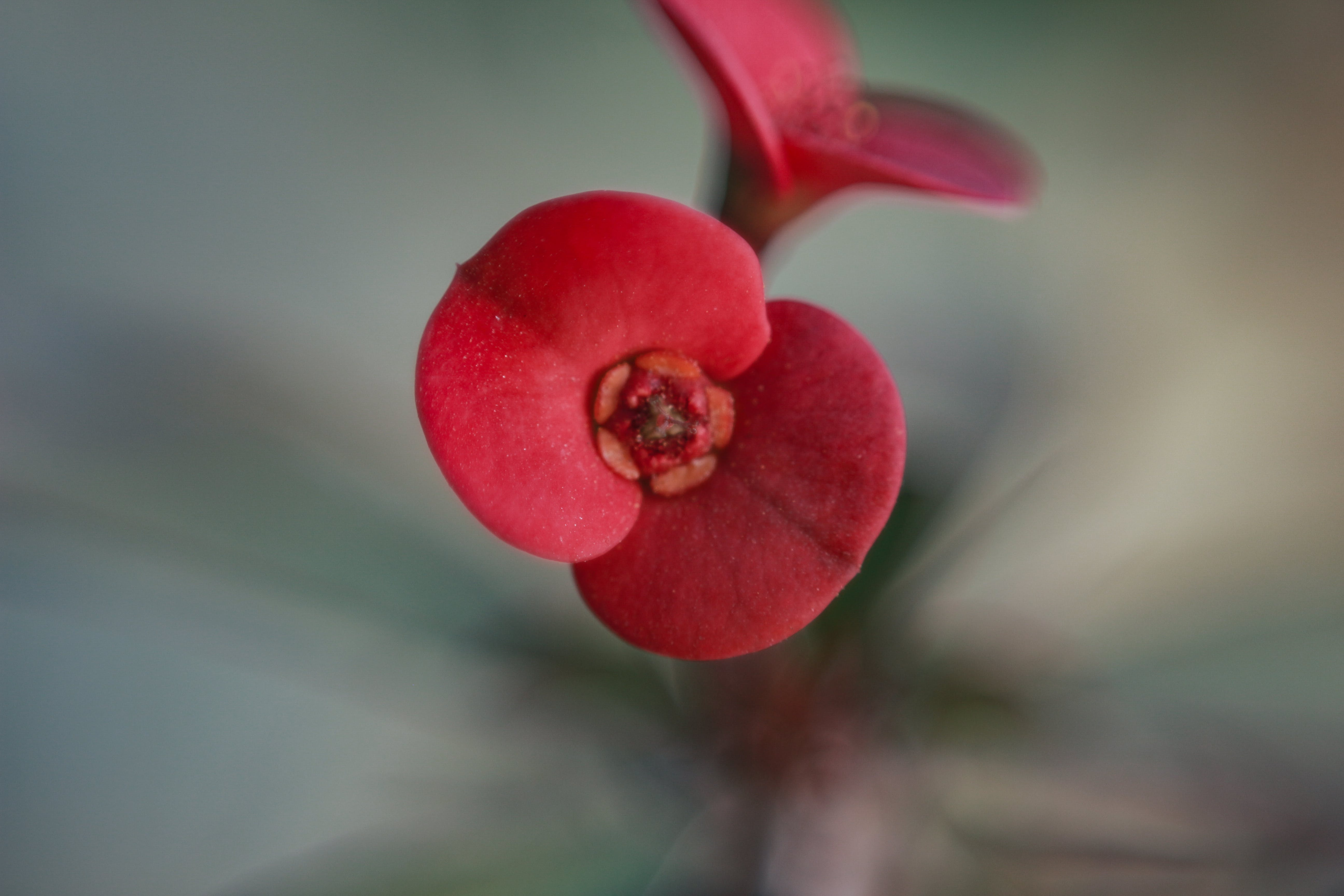 Free stock photo of beautiful flower, flower, red flower, seasonal