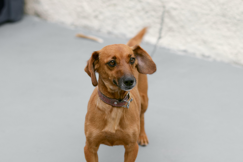 Free stock photo of animal de pequeno porte, animal pequeno, Cachorro, cão