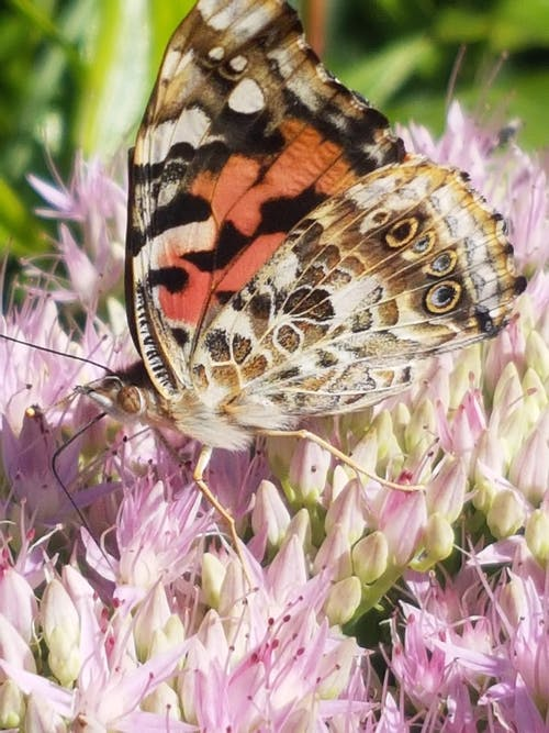 Gratis stockfoto met #butterfly #nature #flower