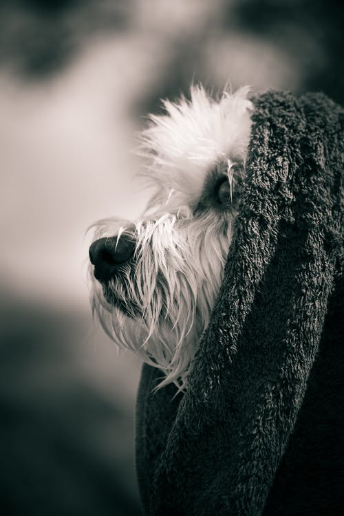 Dog With Towel On Head
