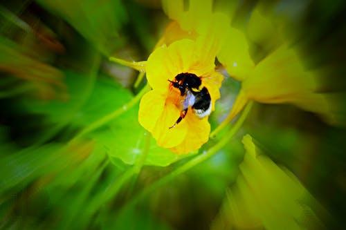 熊蜂 的 免费素材照片