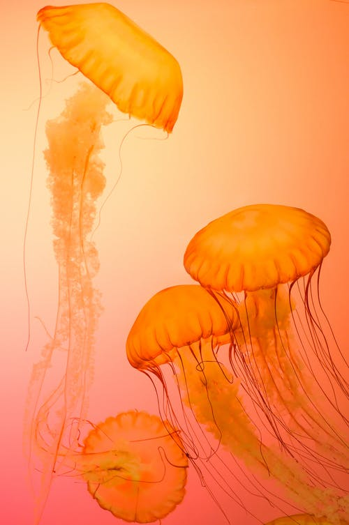 Four Orange Jellyfish Wallpaper