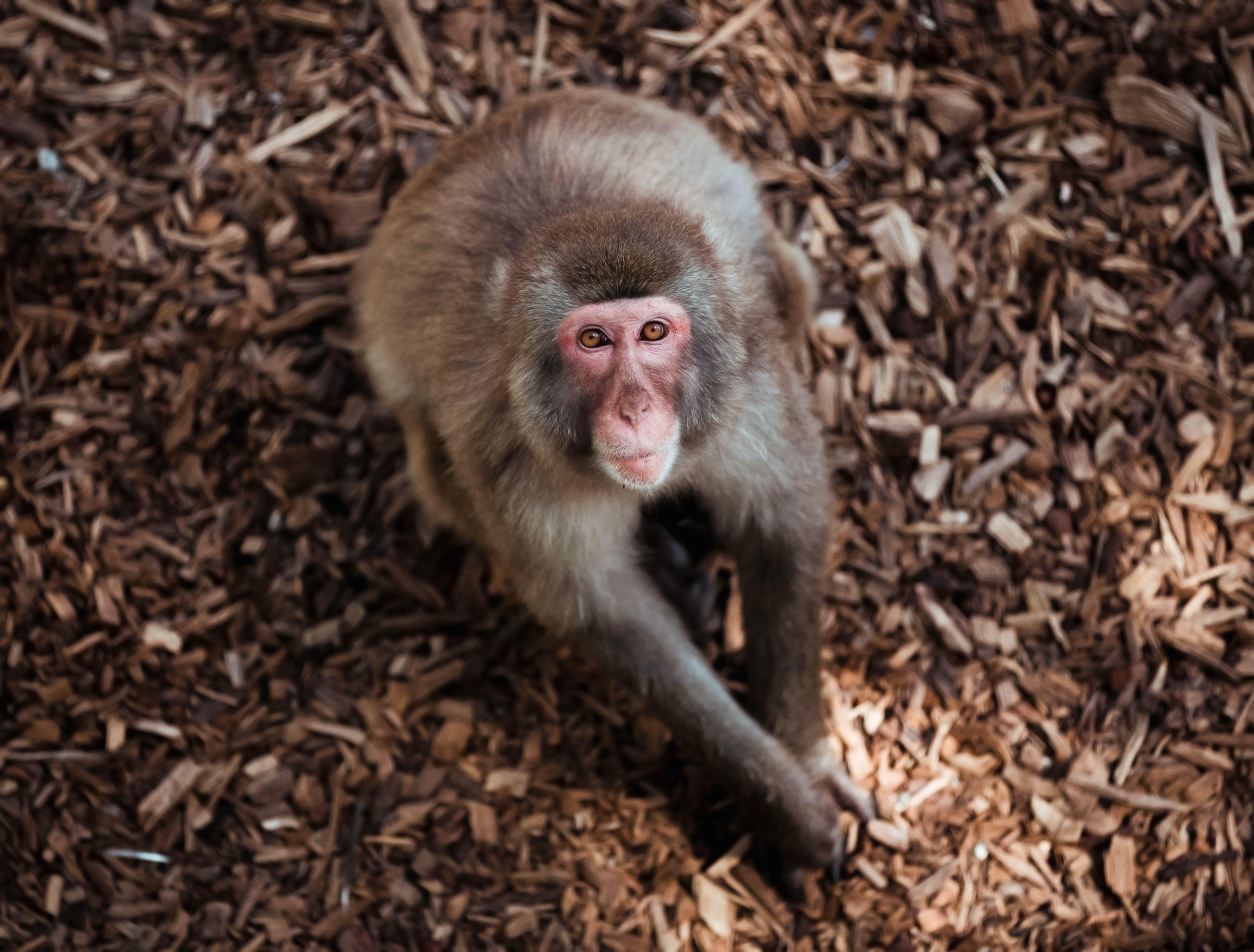 Free stock photo of animal, animal world, monkey, portrait