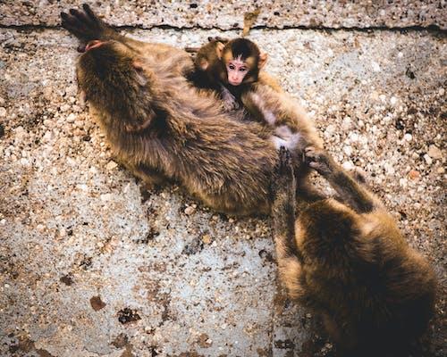 Бесплатное стоковое фото с животное, мама и сын, ребенок обезьяны, щенки