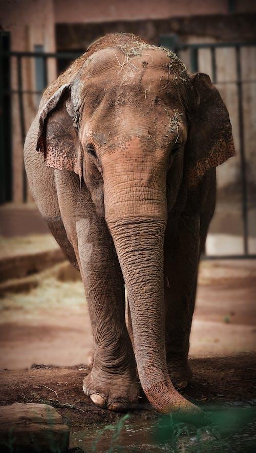 Foto stok gratis binatang, gajah, gajah afrika, potret