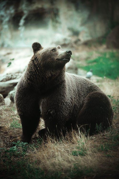 Foto stok gratis beruang, binatang, potret
