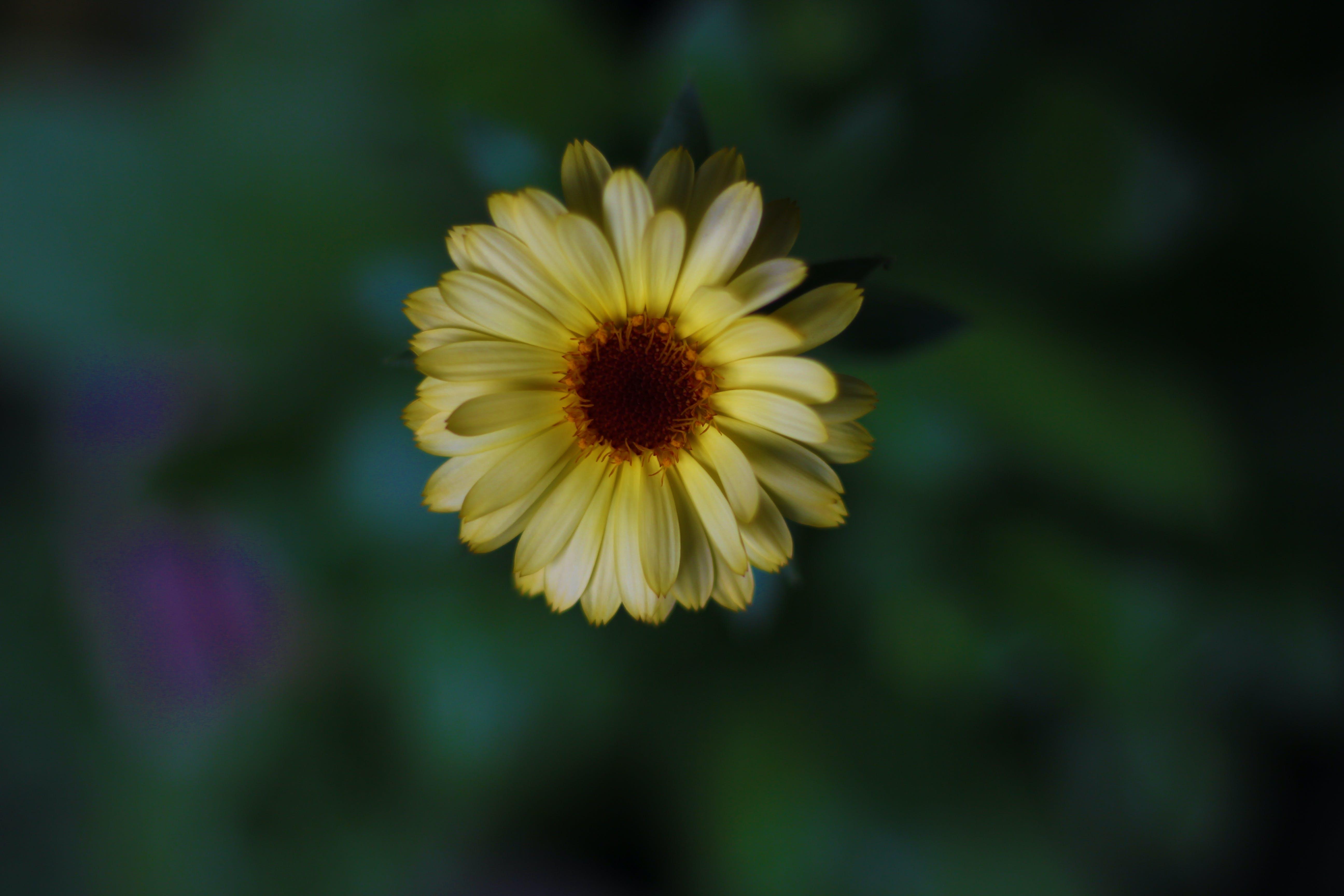 Free stock photo of calendula, facrs-patna, sunita-bharti