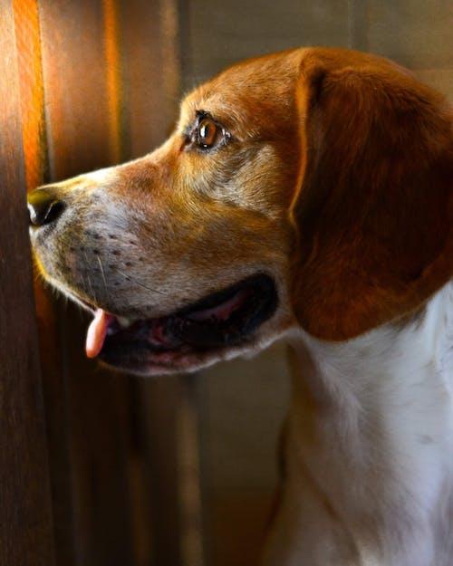Foto profissional grátis de beagle, cachorro