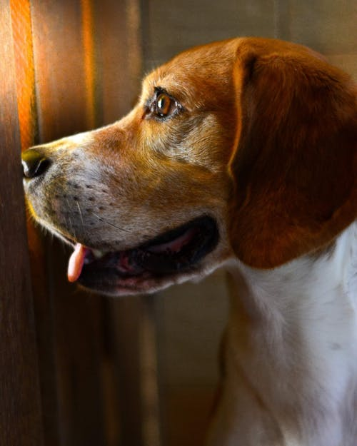 Gratis arkivbilde med beagle, cachorro, hund