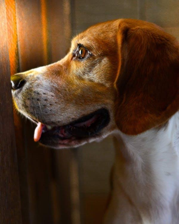 beagle, cachorro, cão