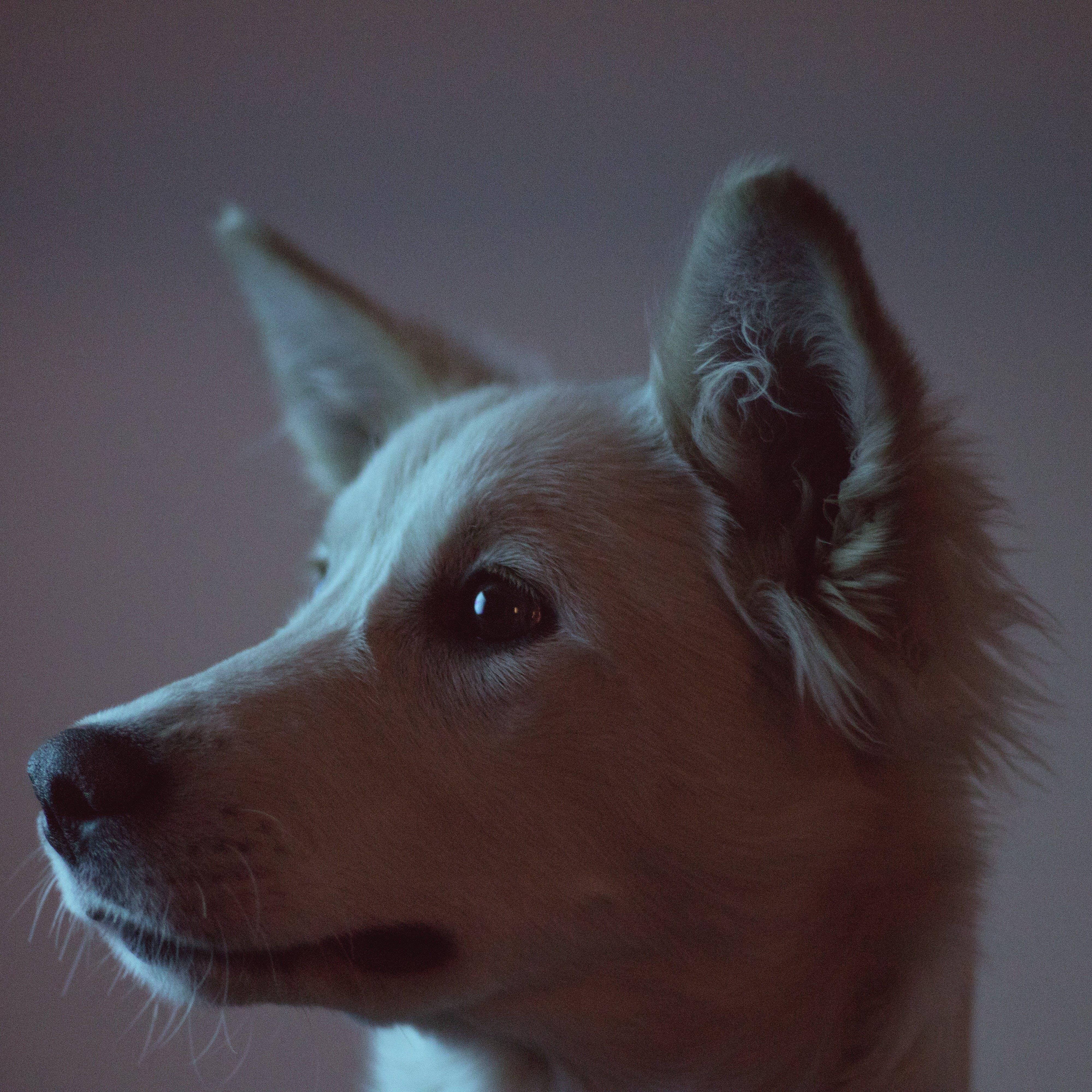 Free stock photo of dog, husky, portrait, puppy