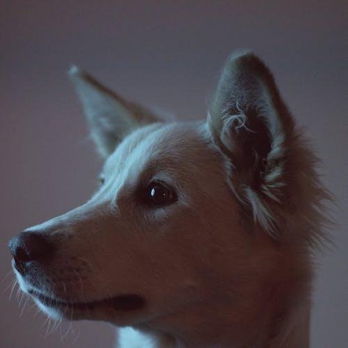 Foto profissional grátis de cachorro, filhote, husky, pastor suíço