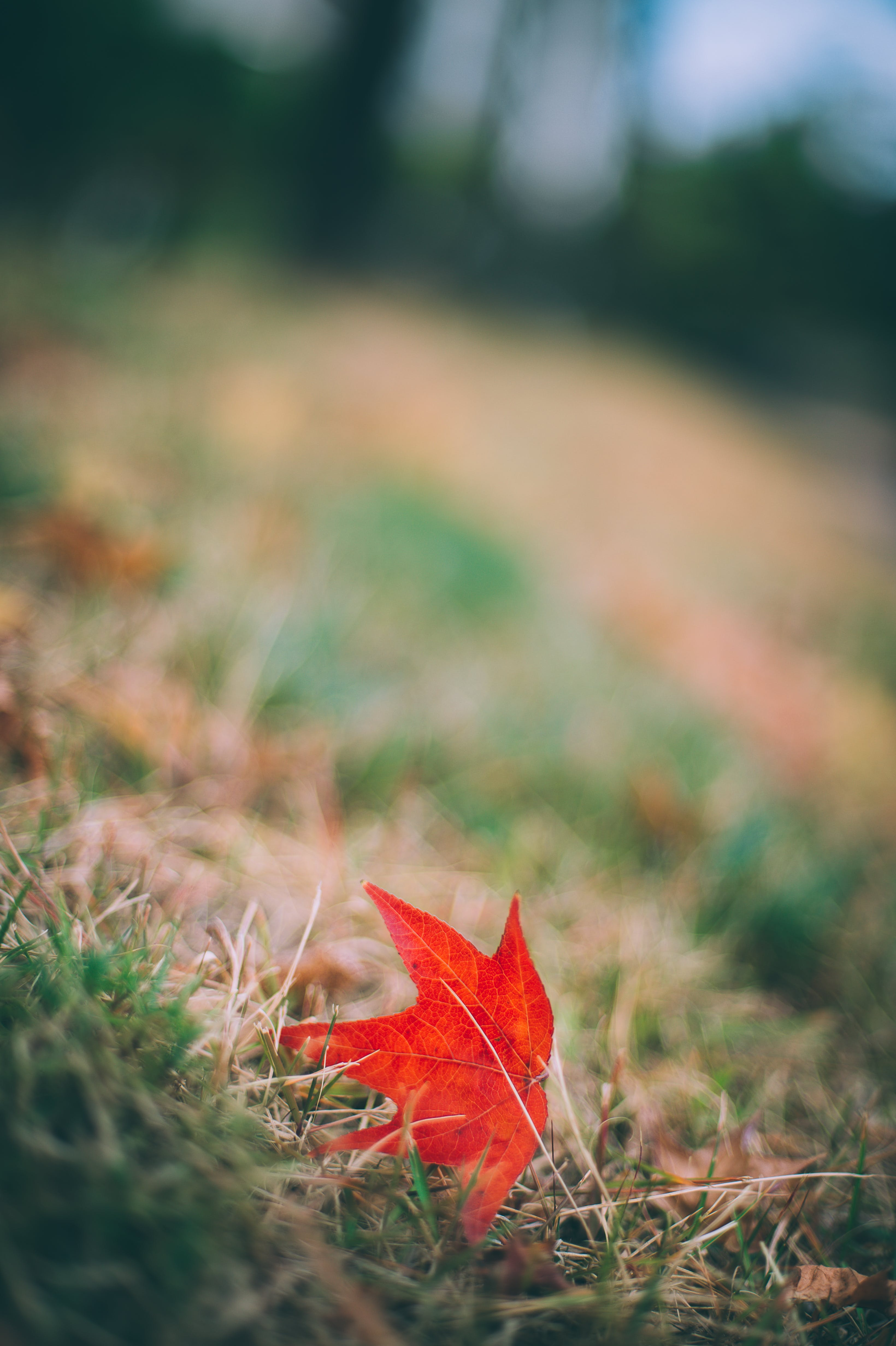 autumn, maple leaves, red