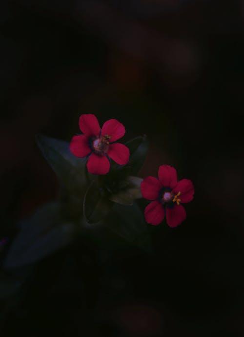 紅花, 美麗的花 的 免費圖庫相片