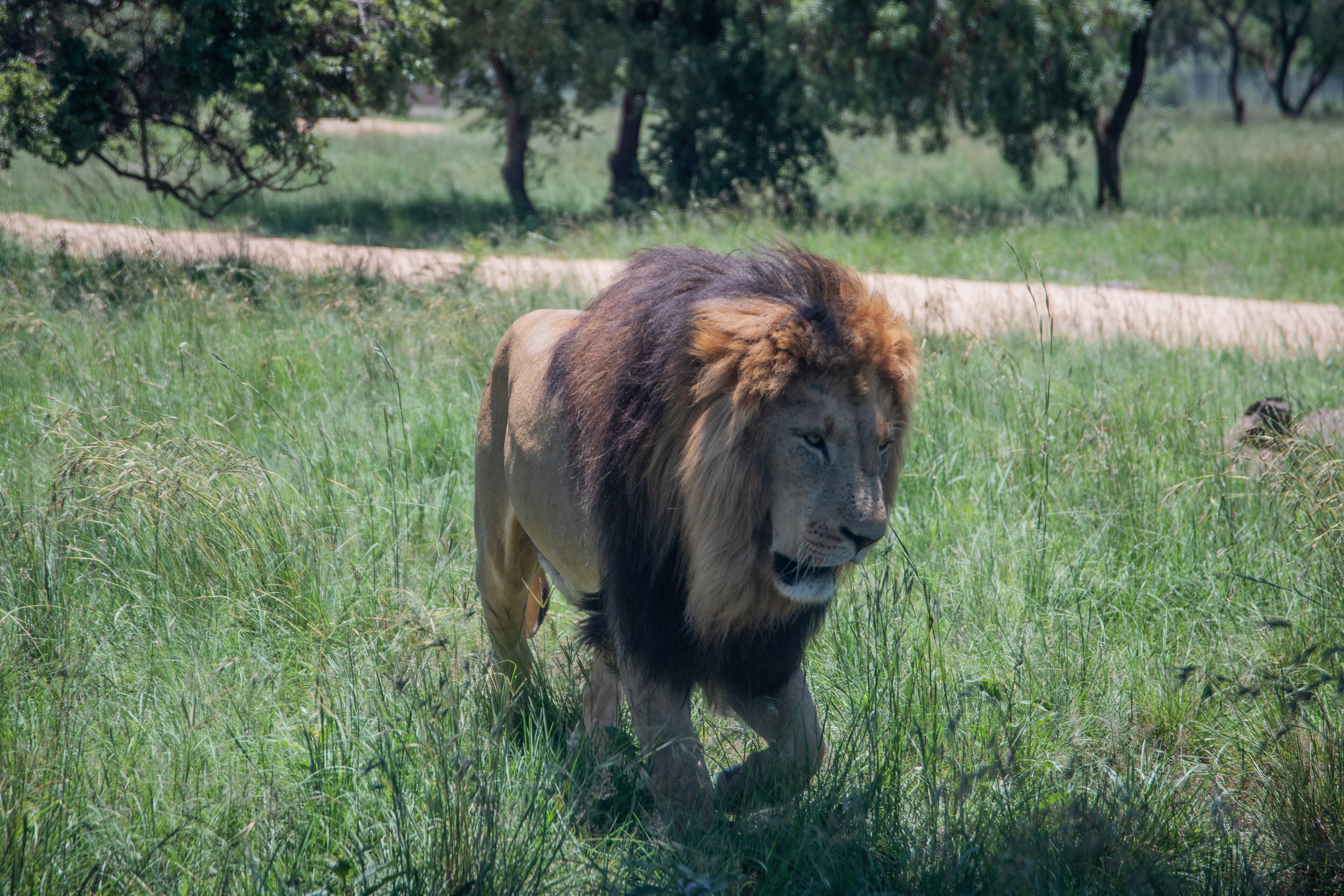 Free stock photo of africa, animals, big five, cats