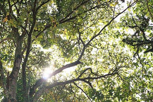 Kostnadsfri bild av grön, morgonsol, natur, träd