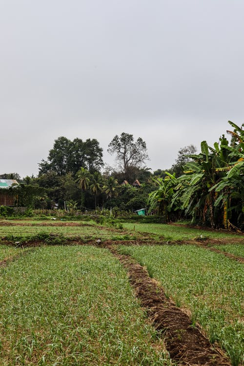 Безкоштовне стокове фото на тему «бананові дерева, бананове листя, Денне світло, дерева»