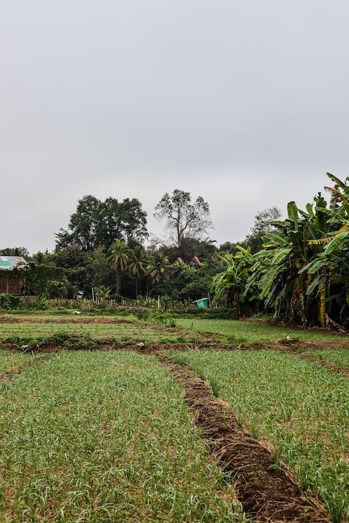Gratis stockfoto met akkerland, bananenbladeren, bananenbomen, bodem