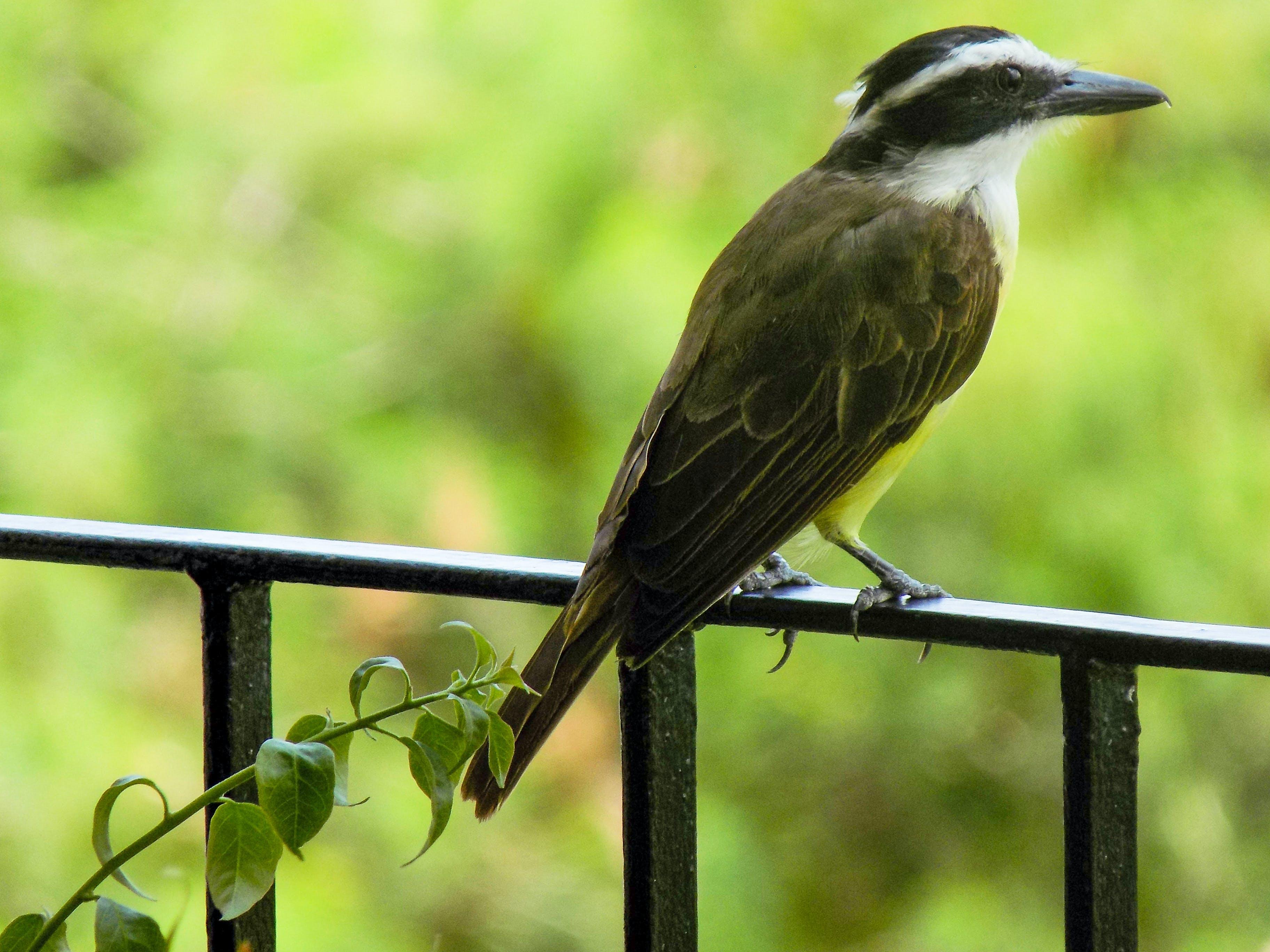 Free stock photo of bem-te-vi, bird, birds of paradise, nature