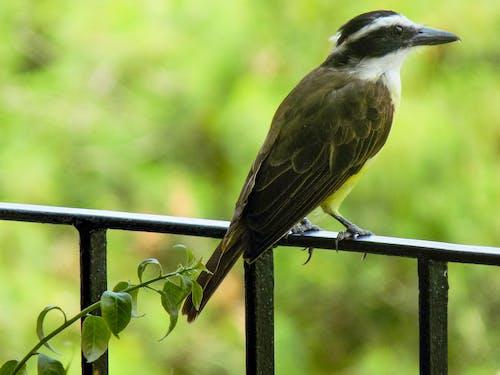Free stock photo of bem-te-vi, birds of paradise, nature