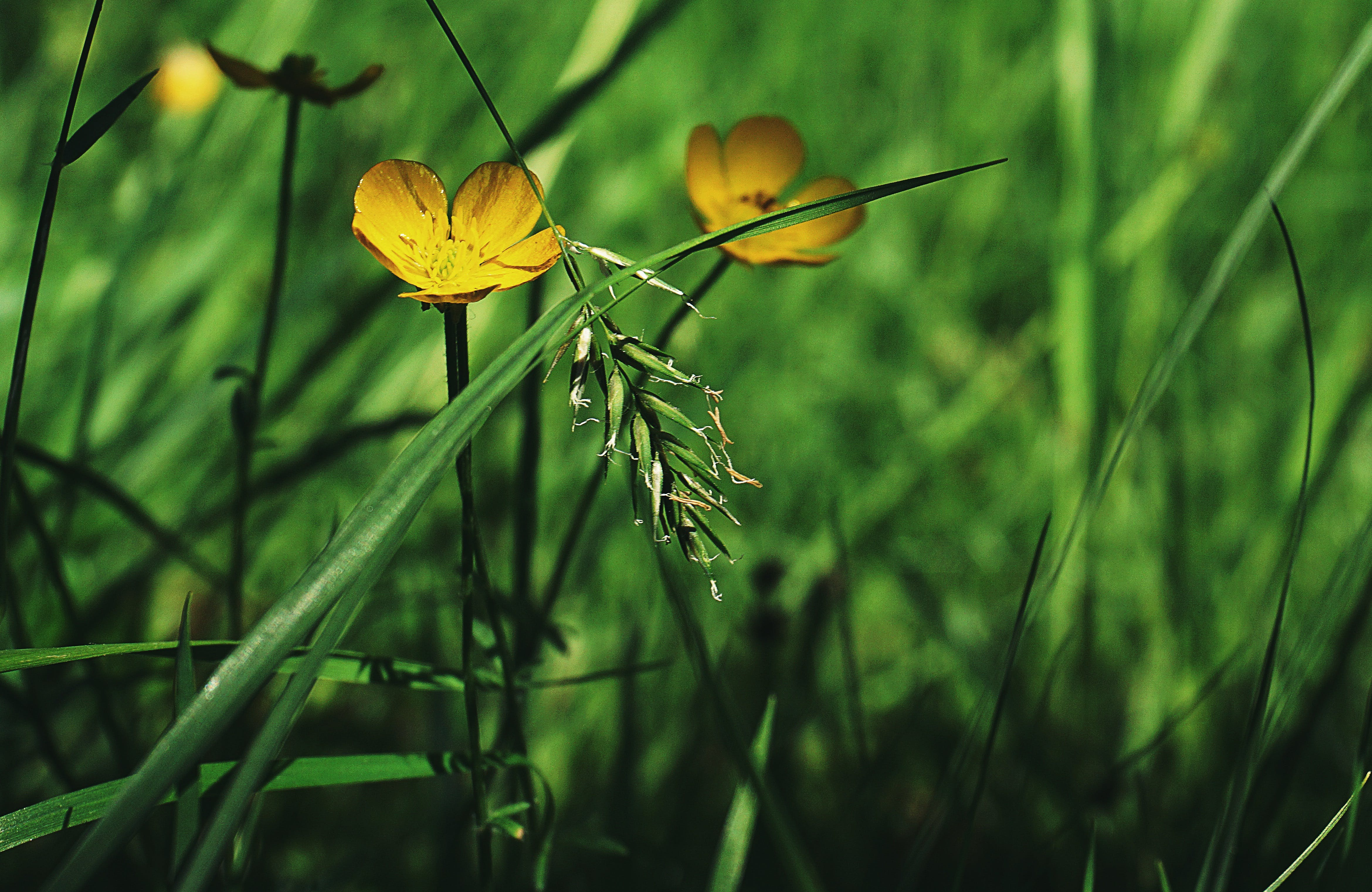 Free stock photo of buttercups, close up, flower meadow, flowers