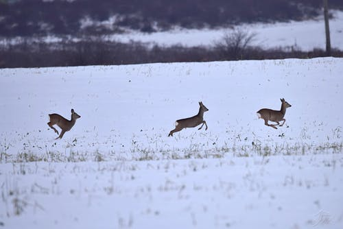Foto d'estoc gratuïta de animal, bellesa a la natura, cabirol, hivern