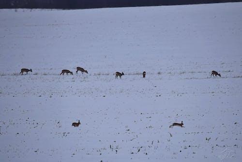 Foto d'estoc gratuïta de animals salvatges, bellesa a la natura, bonic, cabirol