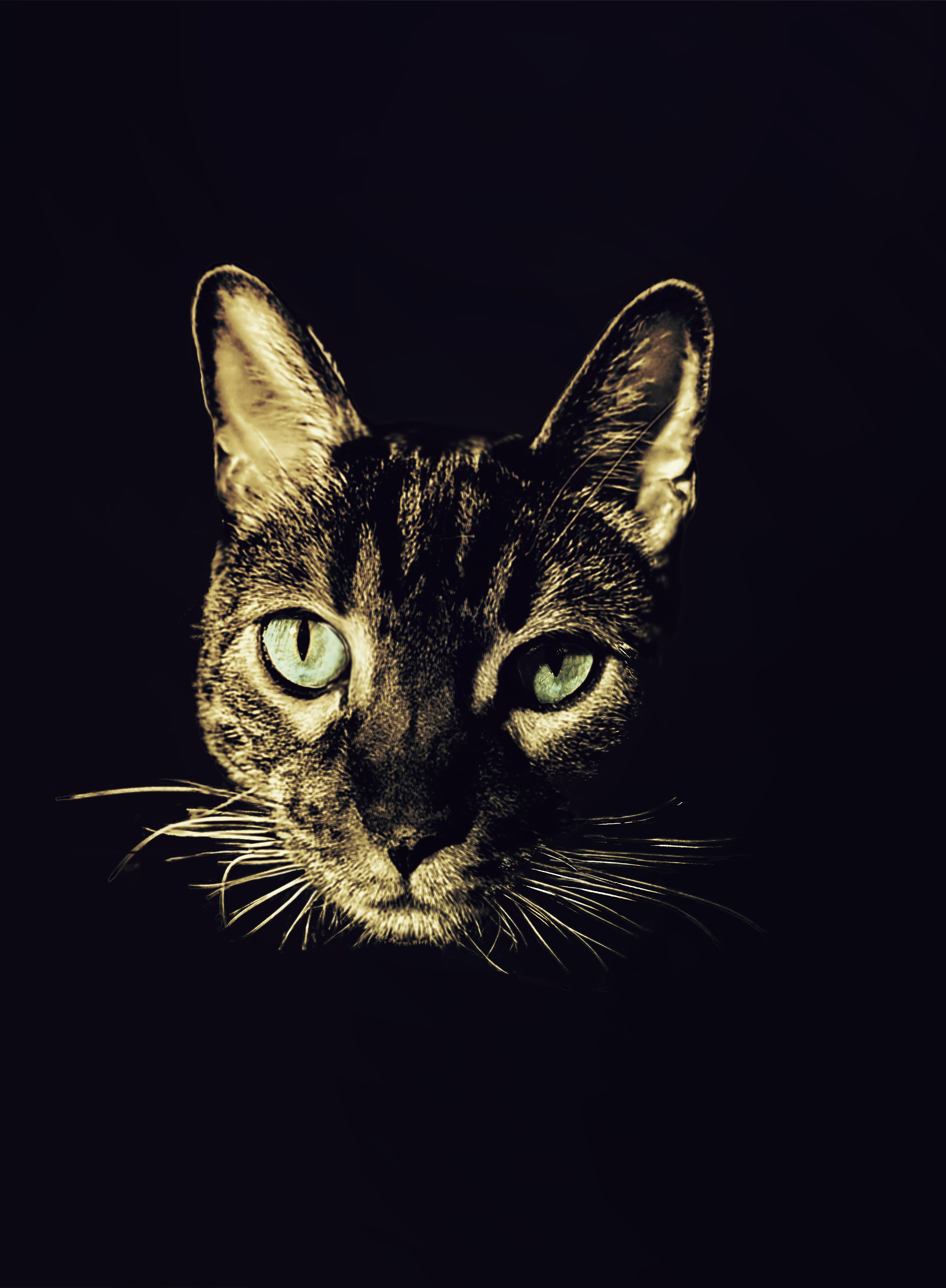 Free stock photo of Bengal cat, cat, male cat