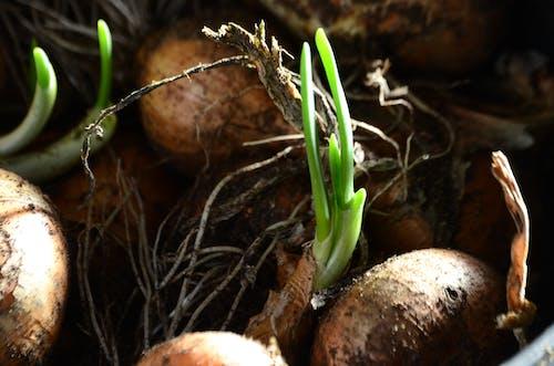 Základová fotografie zdarma na téma cibule, zelená