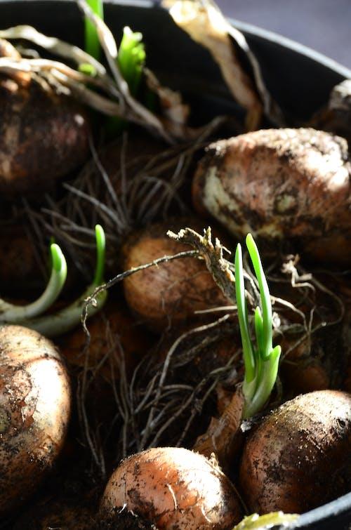 Δωρεάν στοκ φωτογραφιών με κρεμμύδι, πράσινος