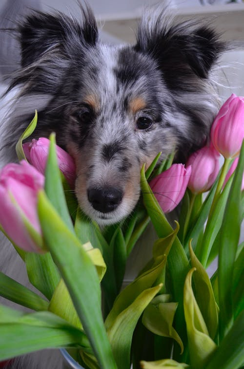 Základová fotografie zdarma na téma láska, růžové tulipány