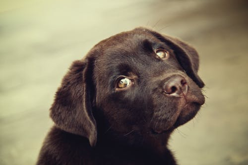 Shallow Focus Photo of Short-coated Black Puppy Head