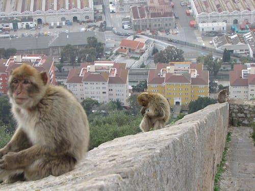 Darmowe zdjęcie z galerii z małpy, singes