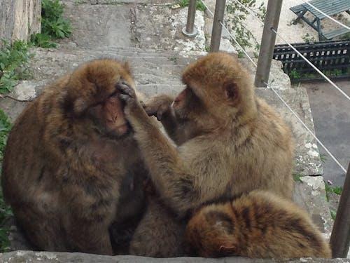 Darmowe zdjęcie z galerii z małpy, rodzina