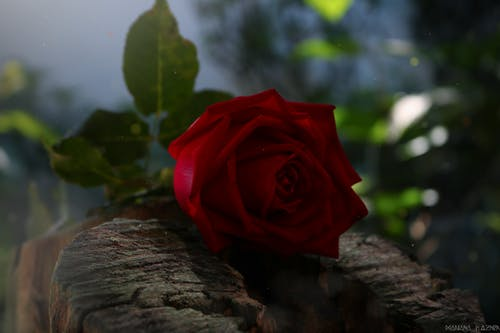 Free stock photo of environment, Red Rose, roses