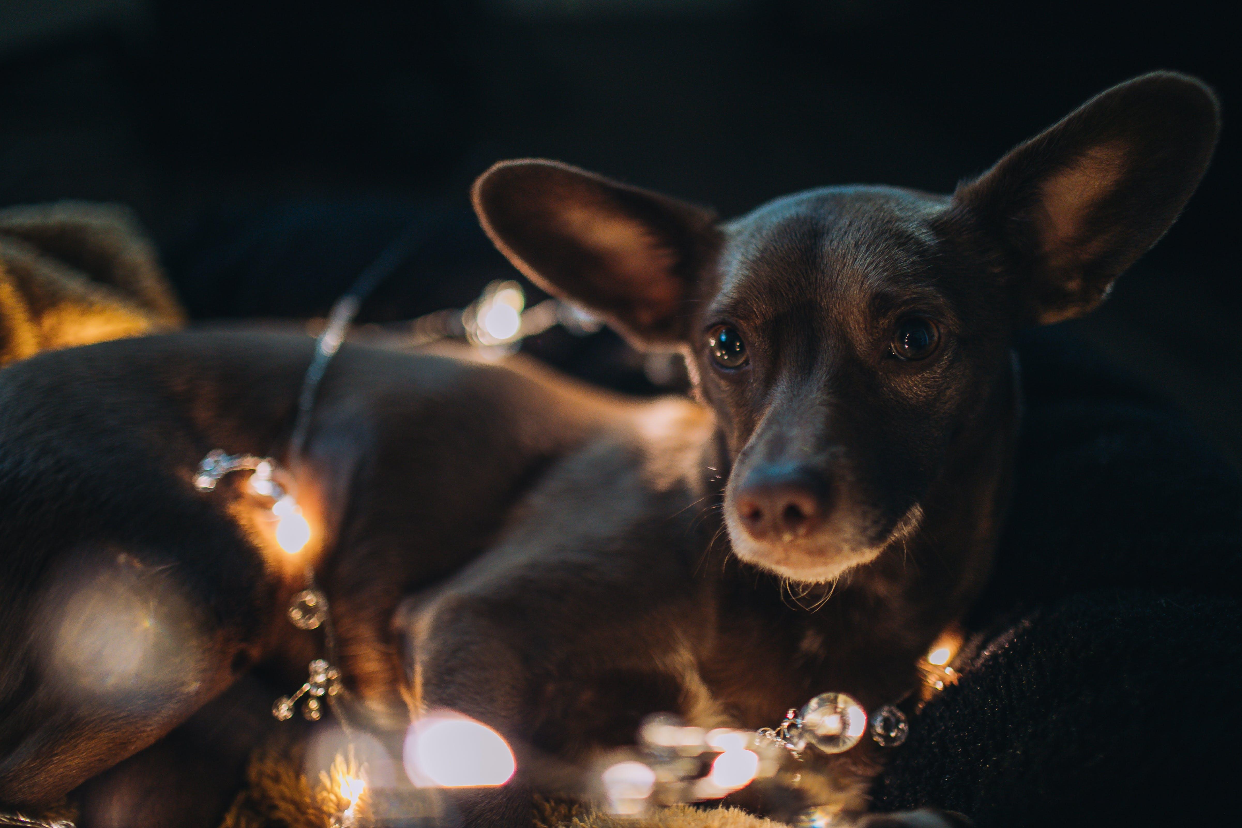 Free stock photo of dog, lights