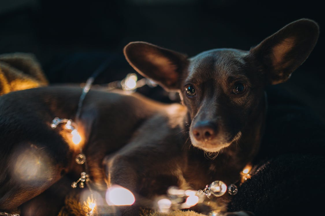 σκύλος, φώτα