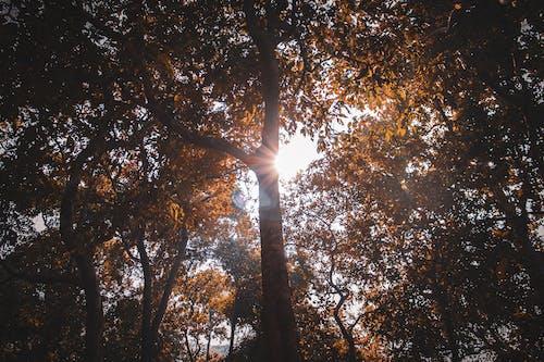 Foto d'estoc gratuïta de arbres, caure, clareja, lleuger