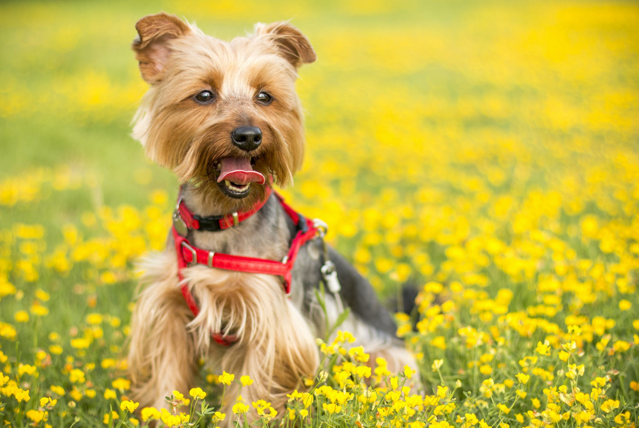 Tan and Black Yorkshire Terrier