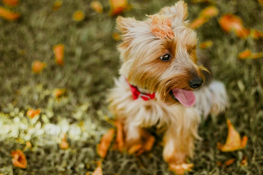 Fawn Australian Terrier Sitting on Grass