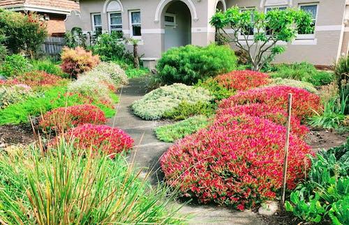 Foto profissional grátis de caminho do jardim, jardim, jardim frontal, plantas vermelhas
