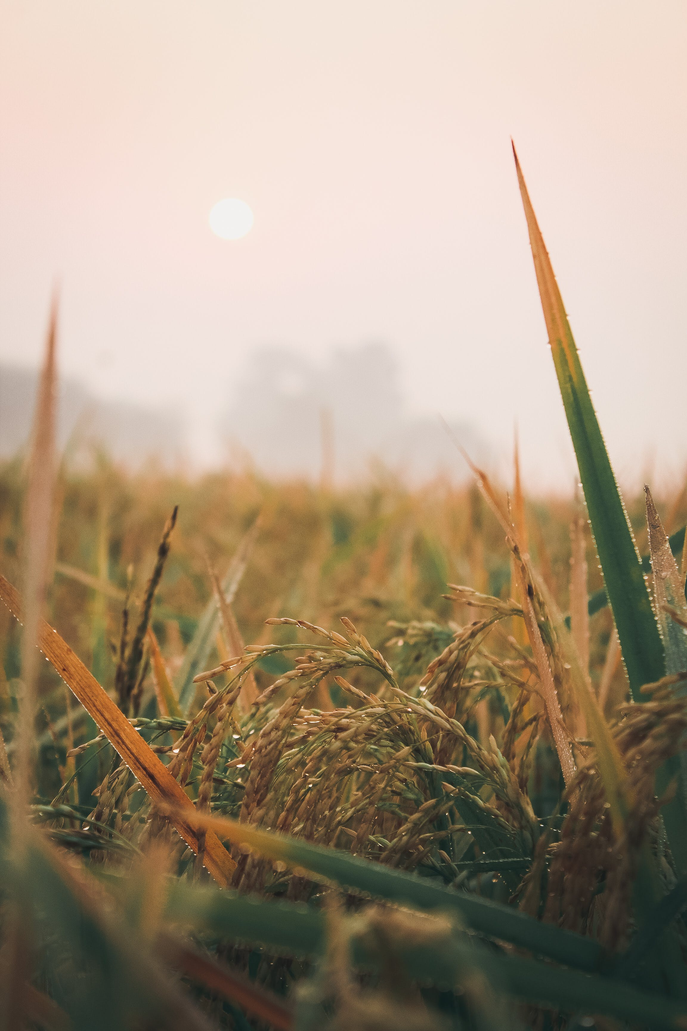 Free stock photo of crop, dew, field, glow